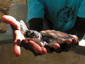Baby turtle at the Local Ocean Trust