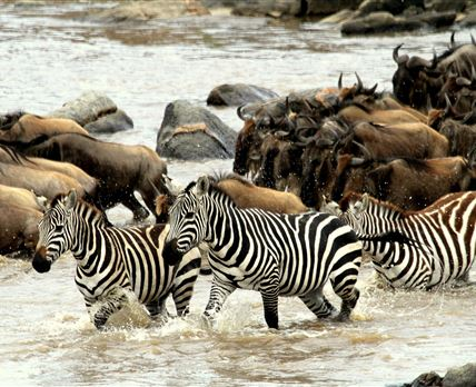 Camp Zebra is named after the zebras which follow the wildebeest on their annual migration