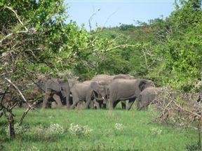 Maputo Special Reserve elephants