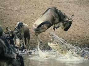Immigration at the Mara River.