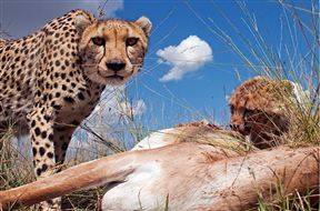 Leopard eating after a Kill.