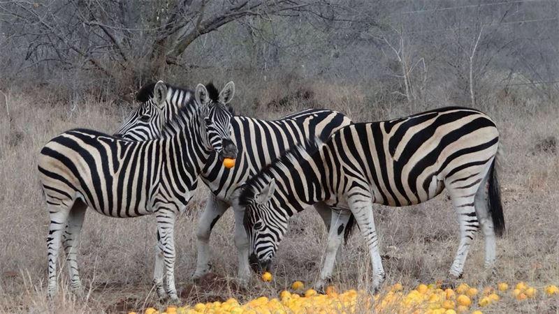 Zebras in Ndlovumzi Nature Reserve
