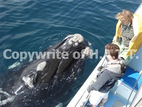 Whale watching with H.A.T.T., Hermanus