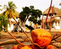 Coconuts abound © KJB