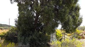 Pepper tree over the grave
