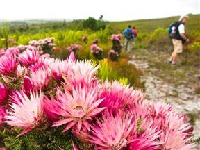 Cape Flowers