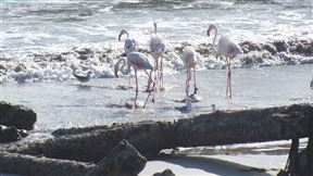 Flamingo's in the surf