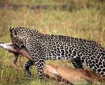 Leopard  © Asilia Africa