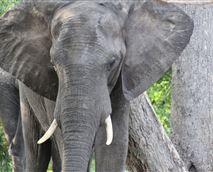 An elephant near Gwango Heritage Centre in Hwange. © Gwango
