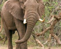 Elephant © Green Kruger Lodge
