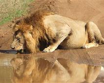 Lion © Green Kruger Lodge