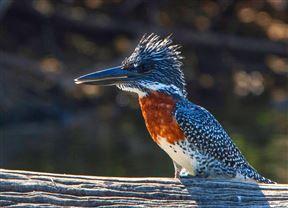 Giant Kingfisher At Lake Panic Hide, Kruger
