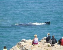 Land based Whale Watching in Hermanus at The Windsor Bay