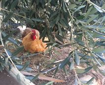 Chickens are free roaming