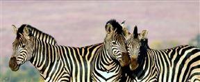 Zebras Up Close