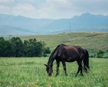 Horses at Montusi