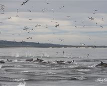 Dolphins with Beachview in the background © Lloyd Evans