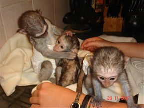 Orphaned Vervet Monkey Babies