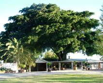 Damas Restaurant in the shade of a gigantic ficus tree