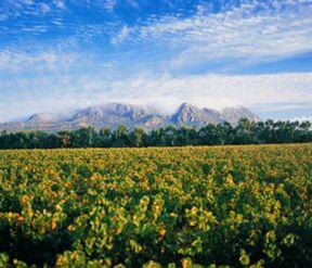 Constantia Uitsig vineyards