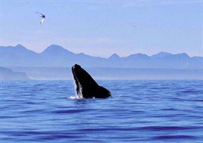 Whale In Plettenberg Bay
