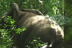 jubilee creek elephant