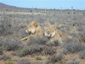 Male lion, Karoo National Park