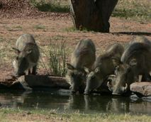This family of warthogs visits the watering hole right in front of the lodge.