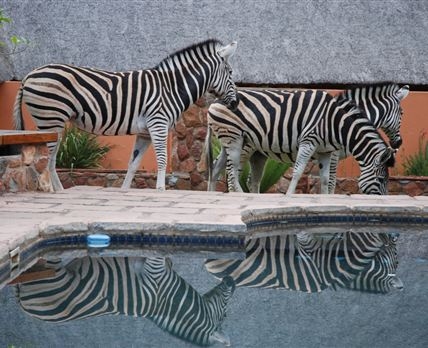 Zebra reflections