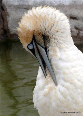 Gannet in rehabilitation