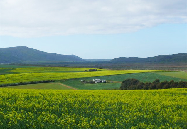 Canola farmlands around Bredasdorp
