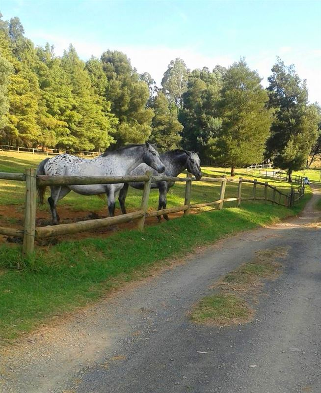 Appaloosa horses at Cranford Country Lodge near Howick