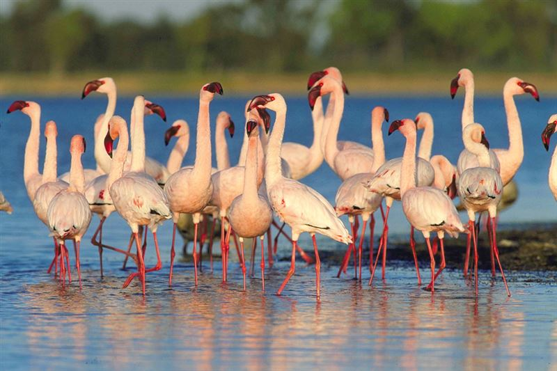Flamingos at Modimola Dam, Mahikeng