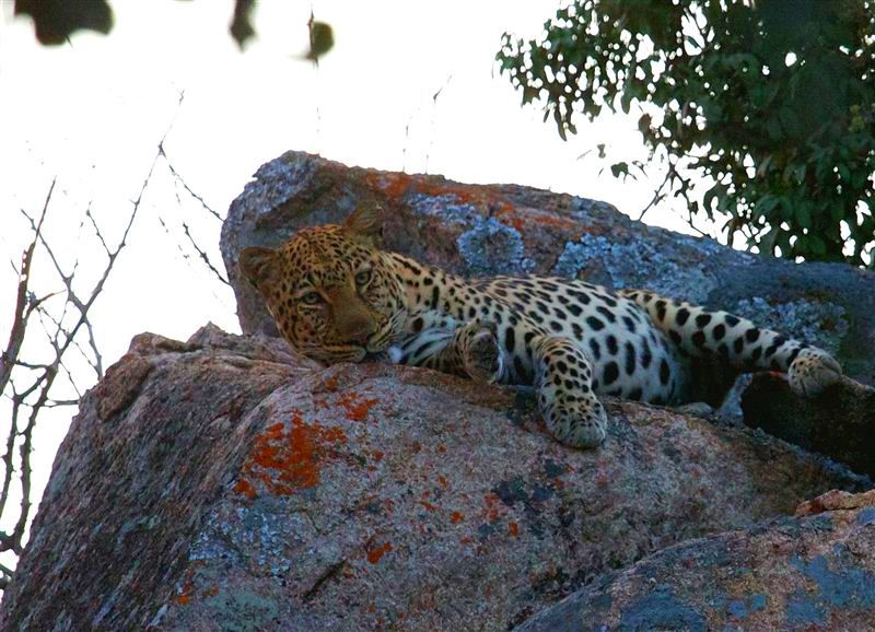 Leopard, Matobo National Park