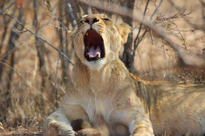 Lion yawning in Kruger National Park