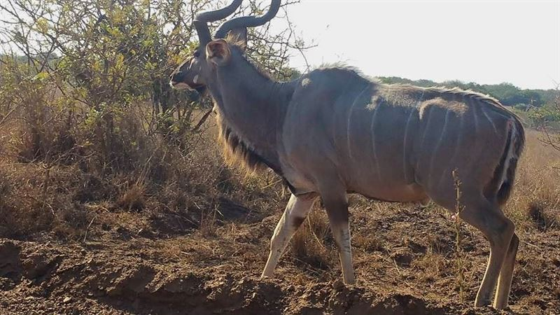 Kudu bull at Greater St Lucia Wetland Park