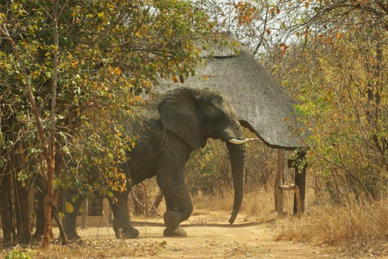 Kafue National Park elephant