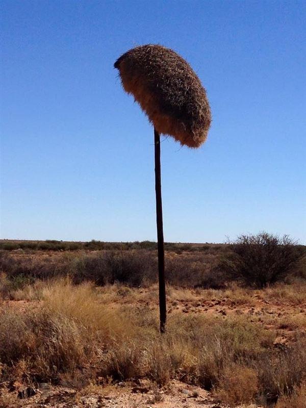 Sociable weavers nest near Kenhardt