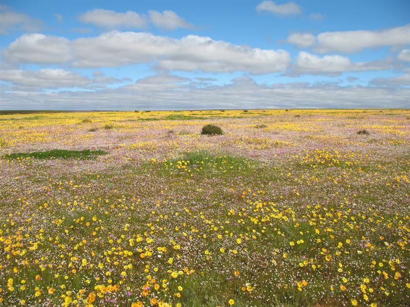 Nieuwoudtville wildflowers