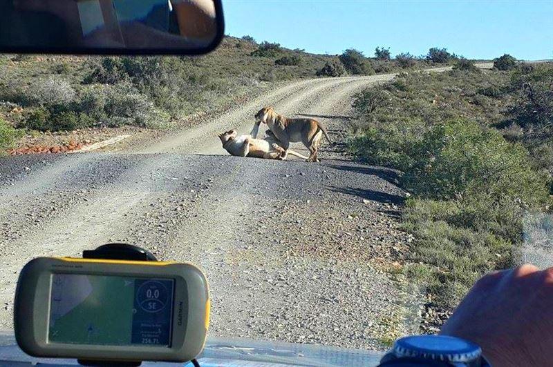 Lions in Karoo National Park