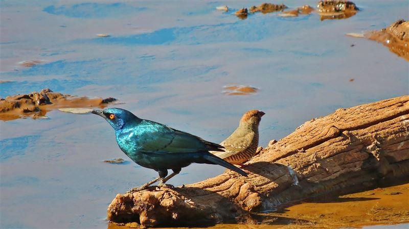 Glossy starlings, Mokala National Park