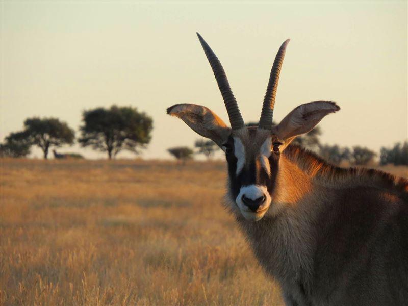 Roan antelope, Mokala National Park