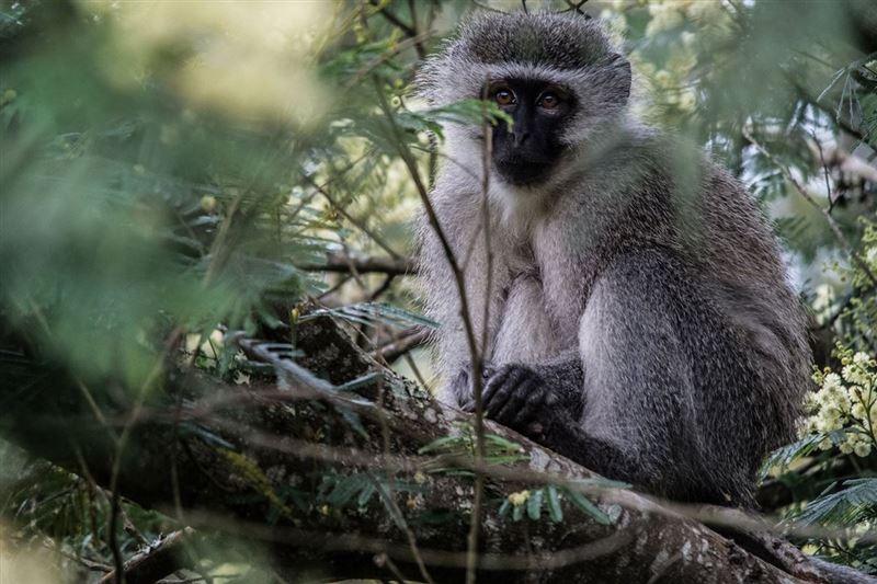 Vervet monkey, Kragga Kamma Game Park