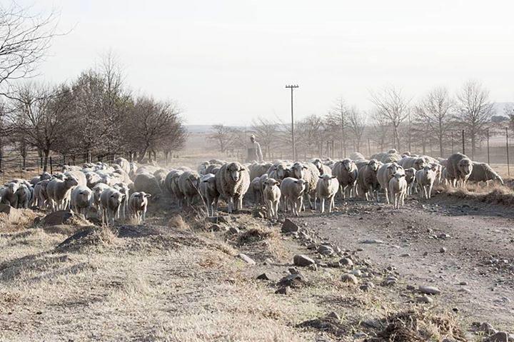 Herding sheep, Elliot
