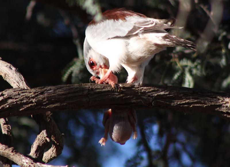 Pygmy falcon, Kalahari