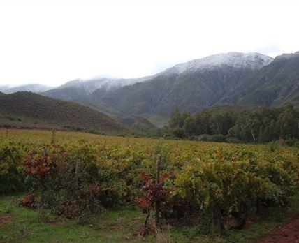 Wilde PaardeKloof - Palomino grapes nearly 100years © JVZ