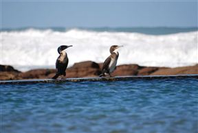 Cormorants at the tidal pool