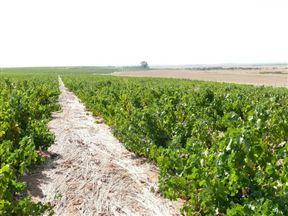 Darling Cellars vineyards