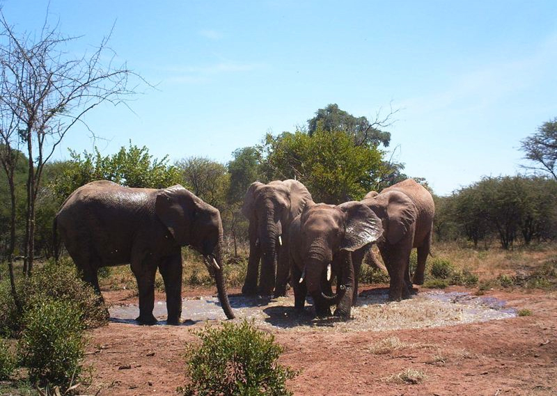 Elephants at Dinokeng Game Reserve