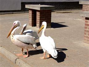 Pelicans in Swakopmund